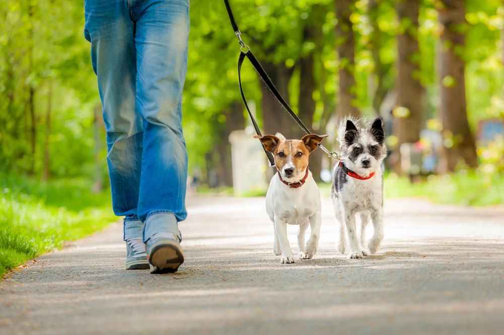 bigstock-Dogs-Going-For-A-W