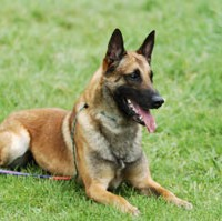 Belgian Shepherd Dog