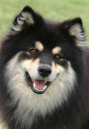 Finnish Lapphund Dogslife Dog Breeds Magazine