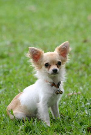 Can Chihuahuas Be Outside Dogs