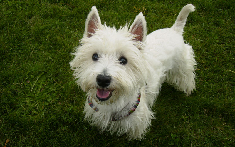 West Highland White Terrier Breeders Qld West Highland White Te...