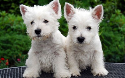 West-Highland-White-Terrier-puppies