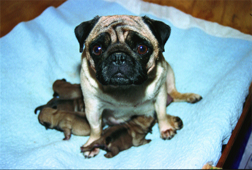 A mother pug and her puppies