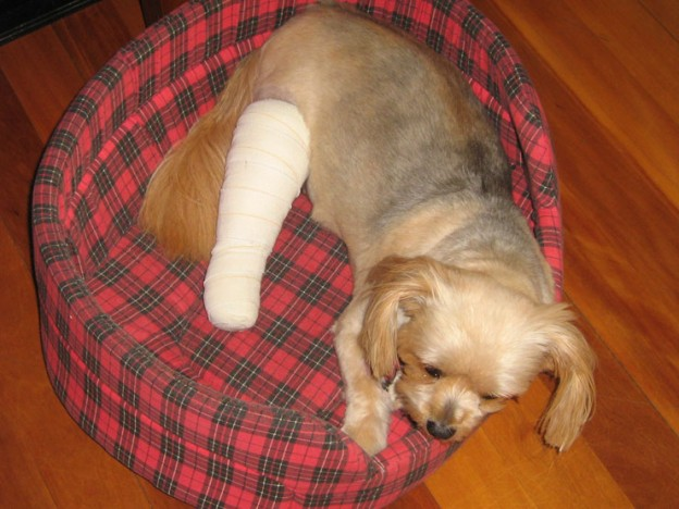 Dogs-Injuries