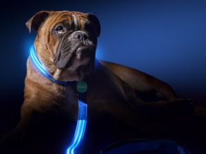 Squeaker Poochlight Blue LED Light Up Leash