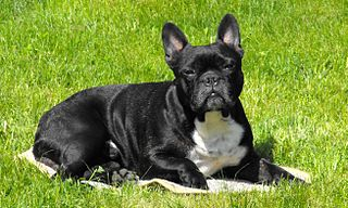 320px-French_Bulldog