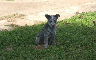 Australian-Stumpy-Tail-pup